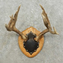 Whitetail Deer Antler Plaque Mount For Sale #15850 @ The Taxidermy Store