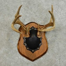Whitetail Deer Antler Plaque For Sale #15985 @ The Taxidermy Store