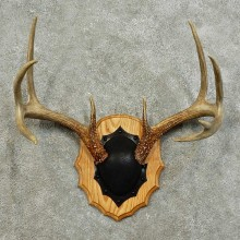 Whitetail Deer Antler Plaque For Sale #15997 @ The Taxidermy Store