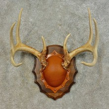 Whitetail Deer Antler Plaque For Sale #16465 @ The Taxidermy Store