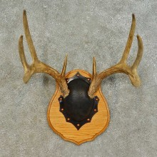 Whitetail Deer Antler Plaque Mount For Sale #16466 @ The Taxidermy Store