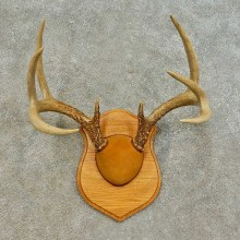 Whitetail Deer Antler Plaque Mount For Sale #16474 @ The Taxidermy Store