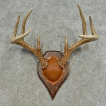 Whitetail Deer Antler Plaque For Sale #16622 @ The Taxidermy Store