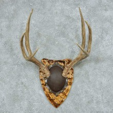 Mule Deer Antler Plaque Mount #13770 For Sale @ The Taxidermy Store