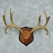 Whitetail/Mule Deer Antler Plaque Mount #13779 For Sale @ The Taxidermy Store