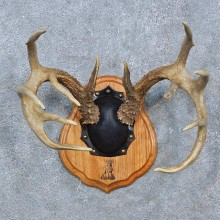 Whitetail Deer Antler Plaque Mount For Sale #15273 @ The Taxidermy Store