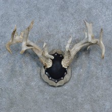 Whitetail Deer Antler Plaque Mount For Sale #15274 @ The Taxidermy Store