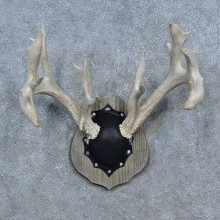 Whitetail Deer Antler Plaque Mount For Sale #15275 @ The Taxidermy Store
