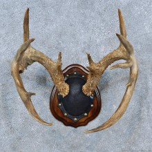 Whitetail Deer Antler Plaque Mount For Sale #15304 @ The Taxidermy Store