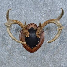 Whitetail Deer Antler Plaque Mount For Sale #15307 @ The Taxidermy Store