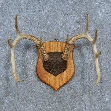 Whitetail Deer Antler Plaque Mount For Sale #15319 @ The Taxidermy Store
