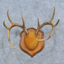 Whitetail Deer Antler Plaque Mount For Sale #15320 @ The Taxidermy Store