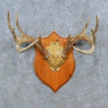 Whitetail Deer Antler Plaque Mount For Sale #15352 @ The Taxidermy Store