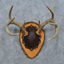 Whitetail Deer Antler Plaque Mount For Sale #15384 @ The Taxidermy Store