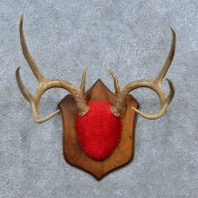 Whitetail Deer Antler Plaque Mount For Sale #15386 @ The Taxidermy Store