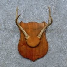 Whitetail Deer Antler Plaque Mount For Sale #15387 @ The Taxidermy Store