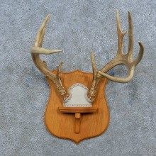 Whitetail Deer Antler Plaque Mount For Sale #15388 @ The Taxidermy Store