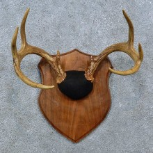 Whitetail Deer Antler Plaque Mount For Sale #15390 @ The Taxidermy Store