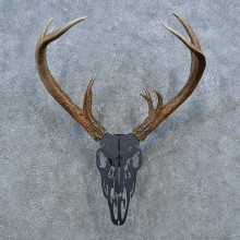 Whitetail Deer Antler Plaque Mount For Sale #15399 @ The Taxidermy Store