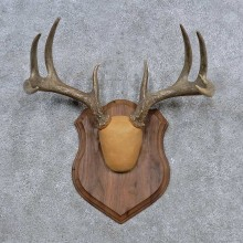 Whitetail Deer Antler Plaque Mount For Sale #15648 @ The Taxidermy Store