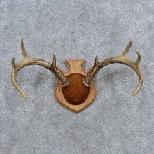 Whitetail Deer Antler Plaque Mount For Sale #15650 @ The Taxidermy Store