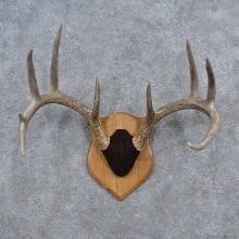 Whitetail Deer Antler Plaque Mount For Sale #15651 @ The Taxidermy Store