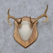 Whitetail Deer Antler Plaque Mount For Sale #15653 @ The Taxidermy Store