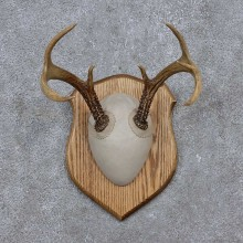 Whitetail Deer Antler Plaque Mount For Sale #15654 @ The Taxidermy Store