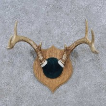 Whitetail Deer Antler Plaque Mount For Sale #15657 @ The Taxidermy Store