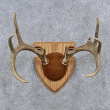 Whitetail Deer Antler Plaque Mount For Sale #15658 @ The Taxidermy Store