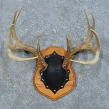 Whitetail Deer Antler Plaque Mount For Sale #15788 @ The Taxidermy Store