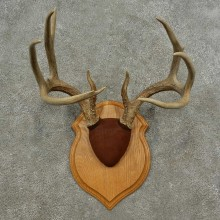 Whitetail Deer Antler Plaque Mount For Sale #16887 @ The Taxidermy Store