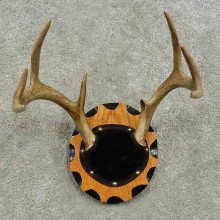 Whitetail Deer Antler Plaque For Sale #16927 @ The Taxidermy Store