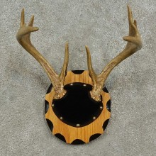 Whitetail Deer Antler Plaque For Sale #16930 @ The Taxidermy Store