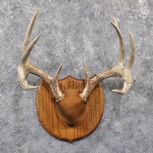 Whitetail Deer Antler Plaque #11664 For Sale @ The Taxidermy Store