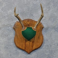 Whitetail Deer Antler Plaque #12166 For Sale @ The Taxidermy Store