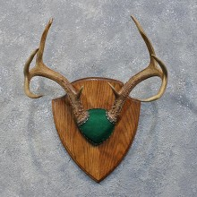 Whitetail Deer Antler Plaque #12168 For Sale @ The Taxidermy Store