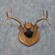 Whitetail Deer Antler Plaque #12172 For Sale @ The Taxidermy Store