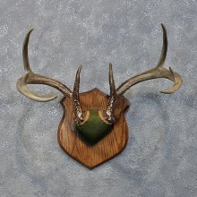 Whitetail Deer Antler Plaque #12173 For Sale @ The Taxidermy Store