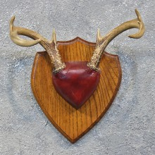 Whitetail Deer Antler Plaque #12176 For Sale @ The Taxidermy Store
