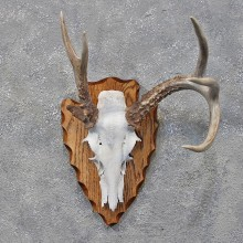 Whitetail Deer Antler Plaque #12188 - The Taxidermy Store