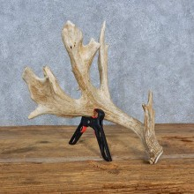 Whitetail Deer Antler Shed Ranch Decoration For Sale
