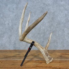 Whitetail Deer Taxidermy Antler Shed For Sale