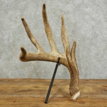 Whitetail Deer Antler Shed For Sale #16024 @ The Taxidermy Store