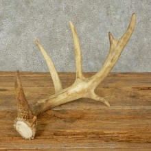 Whitetail Deer Antler Shed For Sale #16205 @ The Taxidermy Store