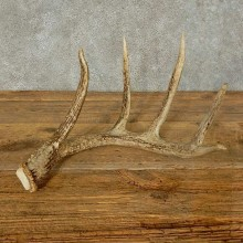 Whitetail Deer Antler Shed Taxidermy For Sale