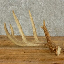 Whitetail Deer Antler Shed For Sale #16234 @ The Taxidermy Store