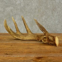 Whitetail Deer Antler Shed For Sale #16430 @ The Taxidermy Store
