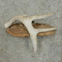 Whitetail Deer Antler Rustic Mount For Sale #16744 @ The Taxidermy Store