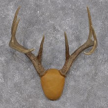 Whitetail Deer Taxidermy Leather Antler Mount #12432 For Sale @ The Taxidermy Store
